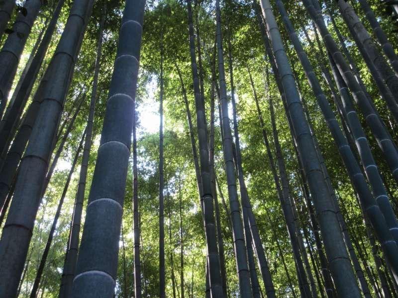 Bamboo forest at Hokoku-ji temple, Kamakura, Kanagawa