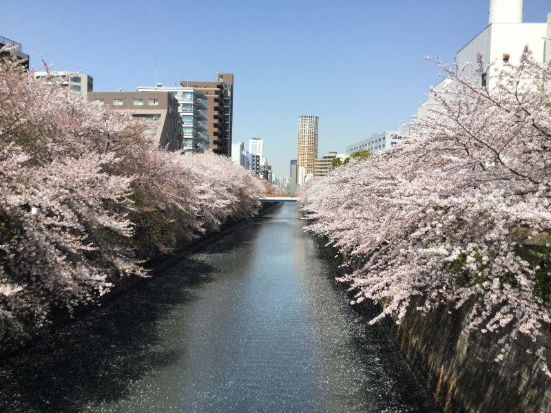 Tokyo tour, Cherry Blossoms