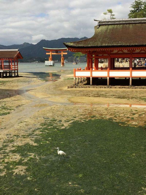 Cuando no hay marea, podemos caminar hasta el Torii del Santuario Itsukushima.