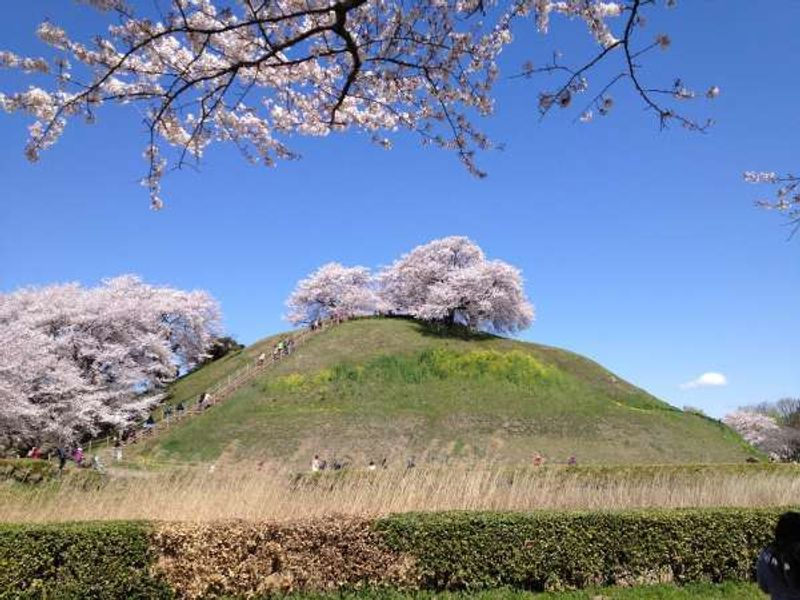 Cherry trees of the ancient  burial mound in Saitama. 2014/4/5