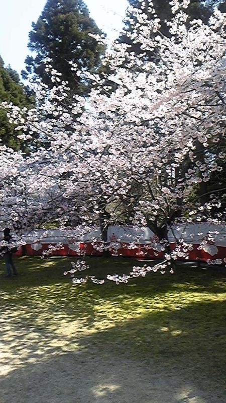 This is also a picture of cherry blossoms in Kyoto.