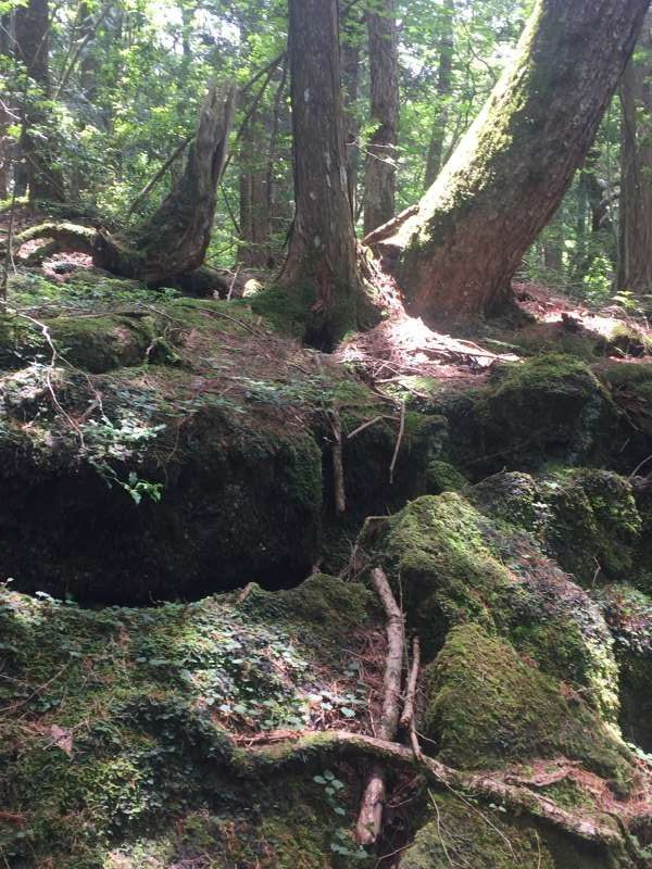 Moss-covered trees and lava in Aokigahara forest,