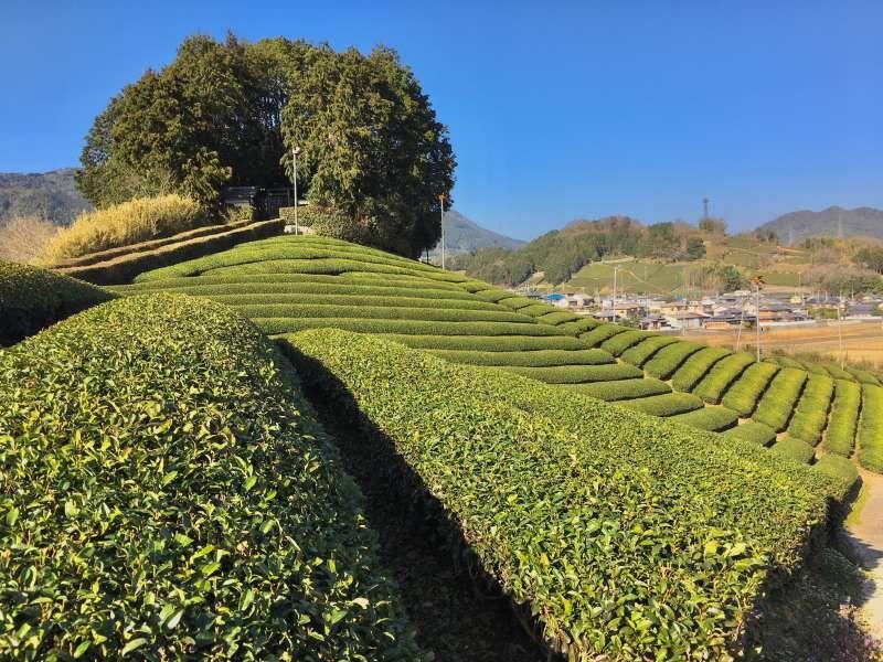 tea farms and old tumulus in Wazuka,Kyoto