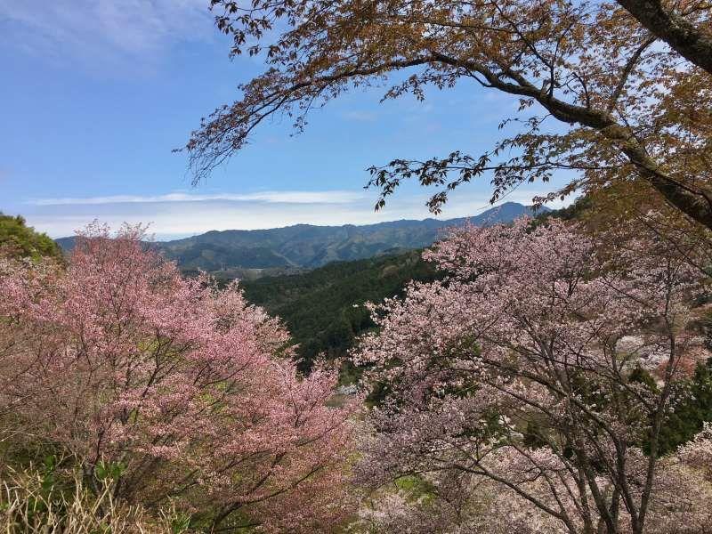 cherry blossoms at Mt.Yoshino in Nara