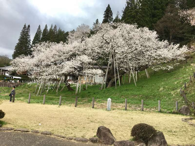 'Garyu Sakura', lying dragon cherry blossoms in Takayama, which is older than 1,100 years