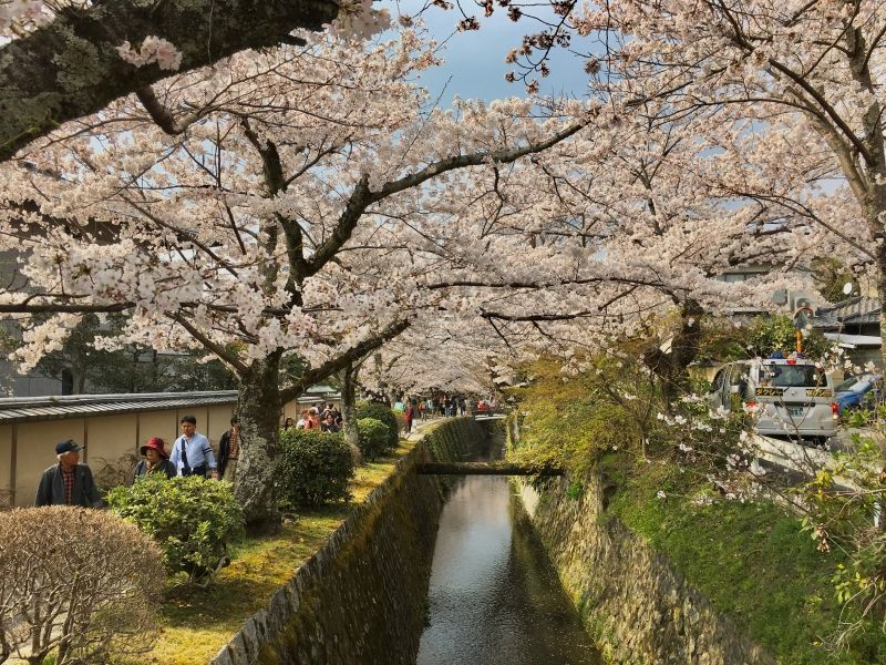 cherry blossoms in full bloom at Philosopher's Path