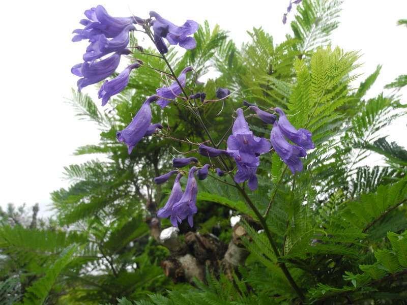 Flowers of jacaranda in Nango cho, Nichinan city.   You can enjoy