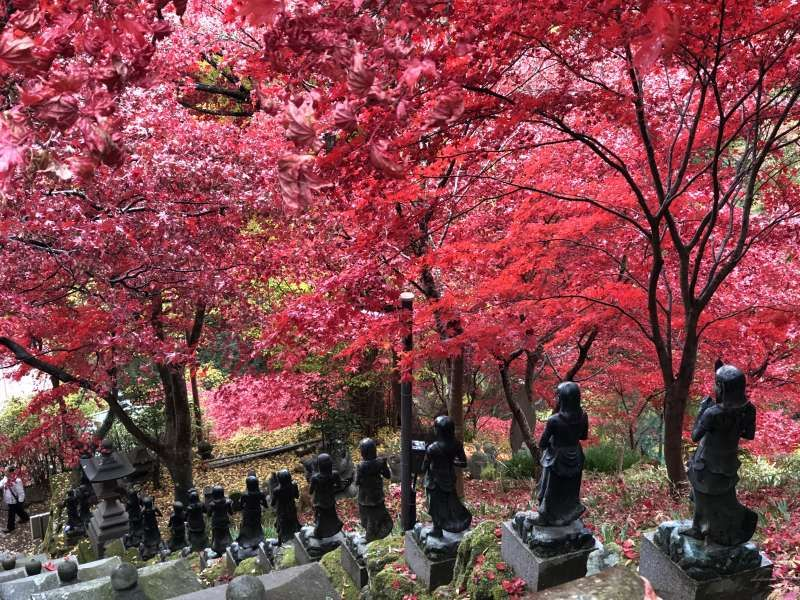 Vivid vermilion colored maple leaves in Oyama-dera Temple in Isehara City, Kanagawa.
