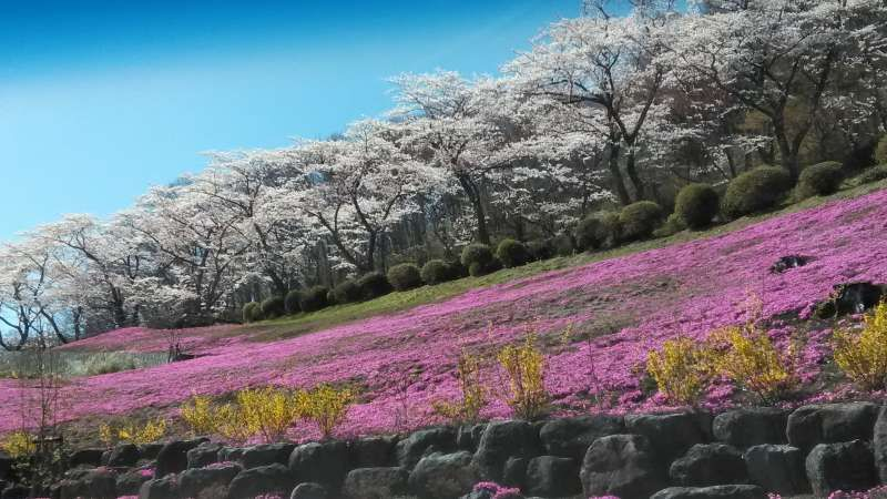 Cherry blossoms and moss phlox