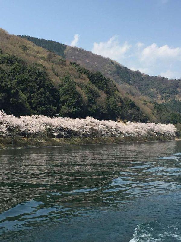 Full Bloom of Cherry Trees at Kaizu-Ohsaki in Shiga