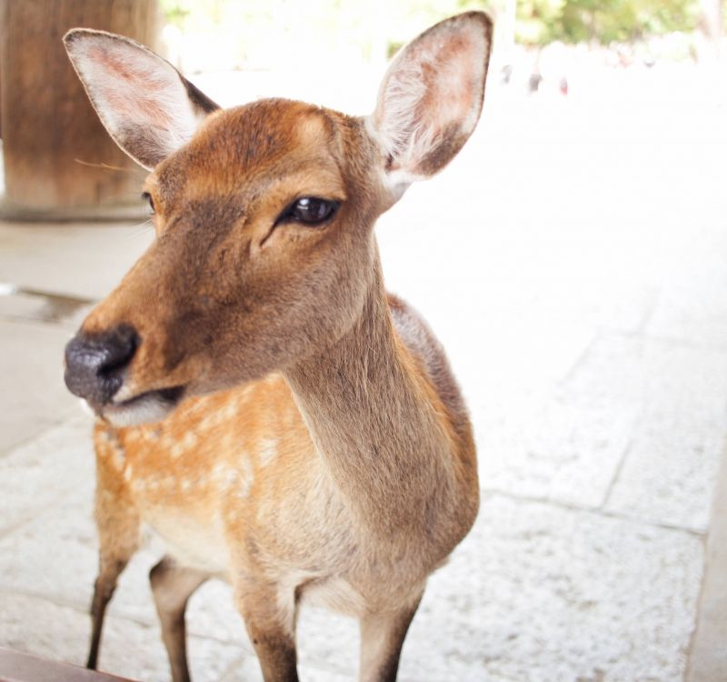 In Nara, you can see a lot of deer. Some of the deer are very friendly as pet.