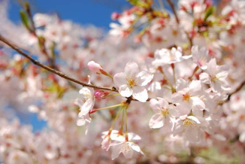 An Active Tour Guide Answers FAQs about Cherry Blossoms.
