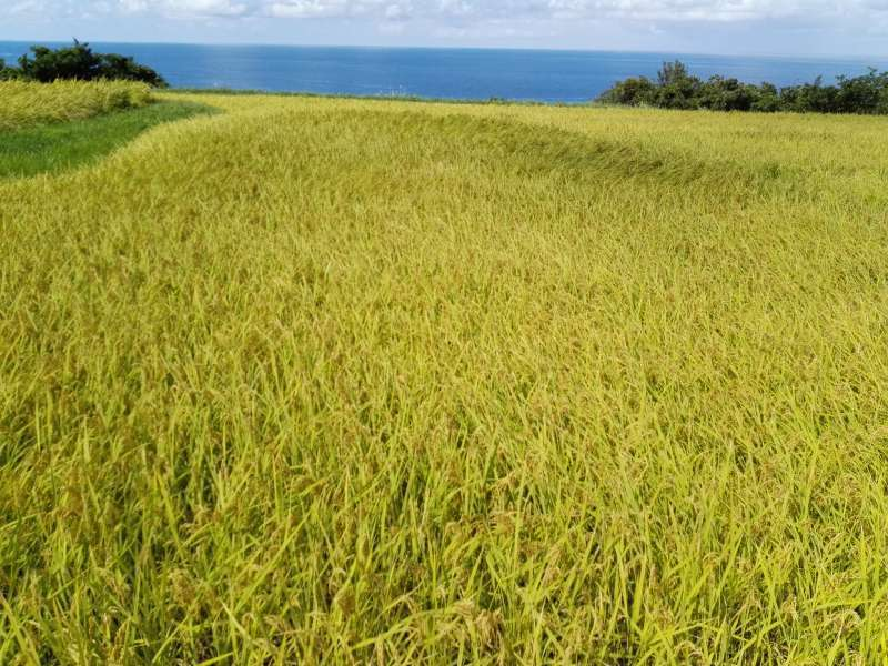 Looks like an ordinary paddy field but...
