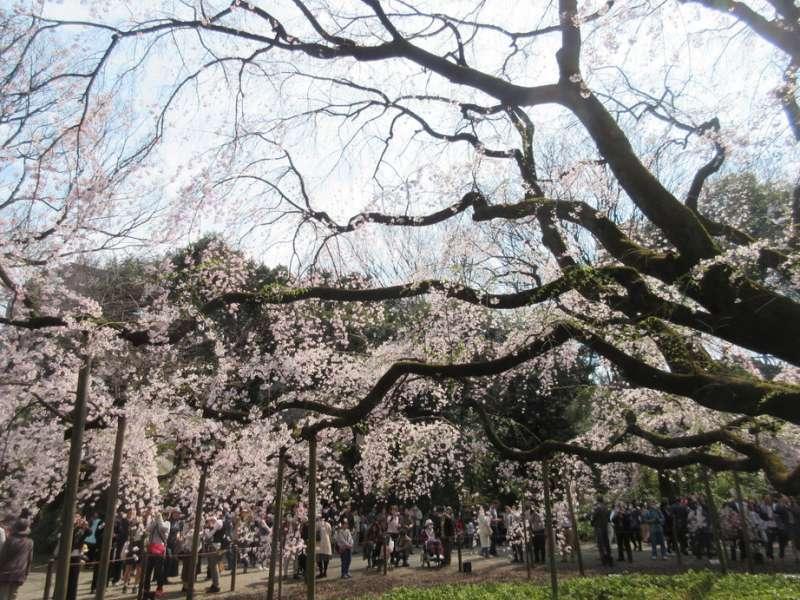 Cherry Blossoms at Rikugi-en