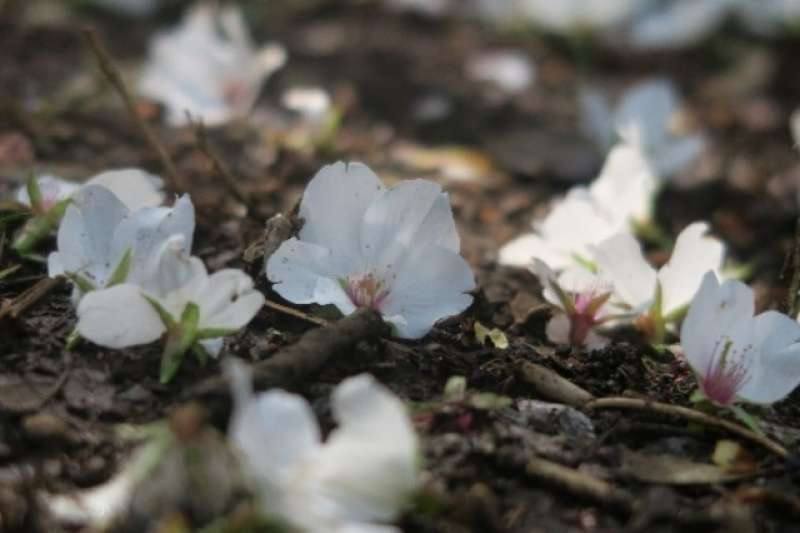 Cherry Blossoms are still beautiful even fallen on the ground