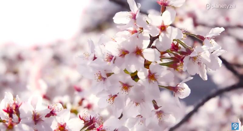 Cherry Blossom 2020 Season in Japan: 5 Best Spots in Tokyo