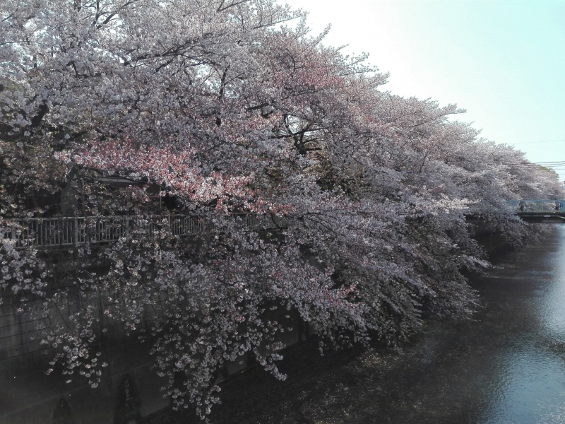 Our Enthusiasm to Cherry Blossoms!