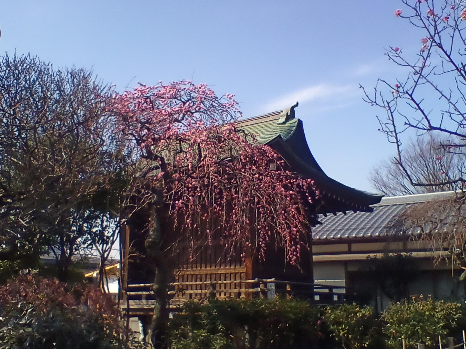 Kawazuzakura  blooms around Valentine