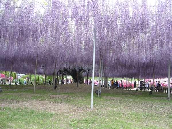 Ashikaga Flower Park - Let's enjoy a beautiful view of wisteria