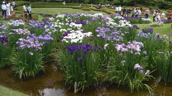 Iris flowers will be in full bloom in the east garden of imperial palace !