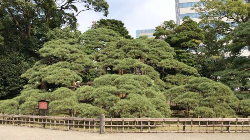 300-Year Pine, which was planted 300 years ago to commemorate the great renovations made to the garden by the 6th shogun Ienobu.