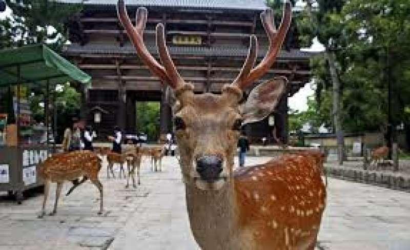 Entrada del templo Todai en Nara, nos esperan más de 1,000 ciervos sin cadena.
