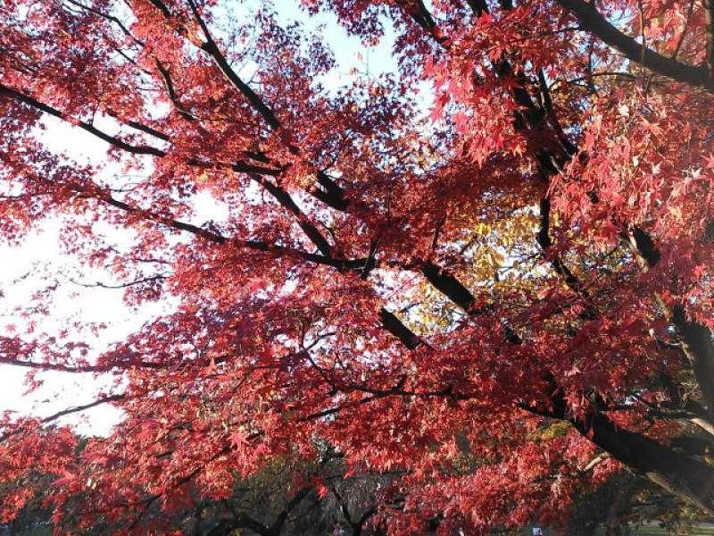 Autumn foliage viewing at Koishikawa Botanical Garden in Tokyo
