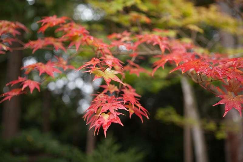 Maple leaves at Jingo-ji Temple