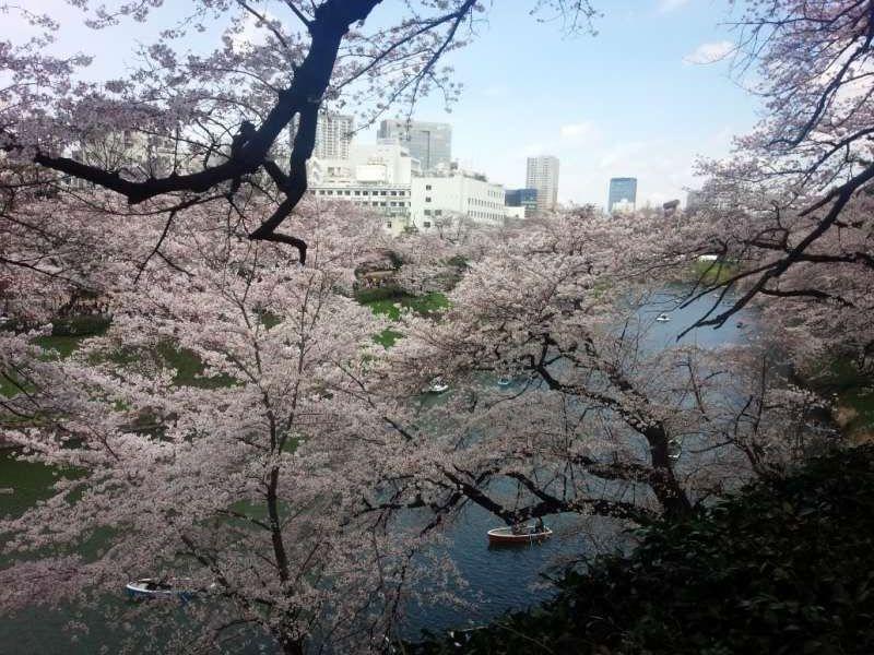 panoramic view of cherry blossoms at Chidorigafuchi moat