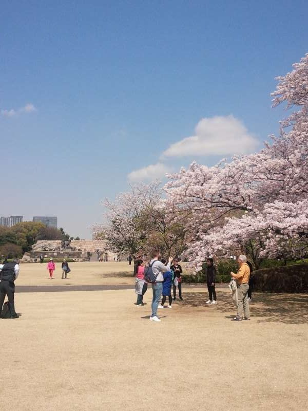 beautiful cherry blossoms in Imperial Palace east garden