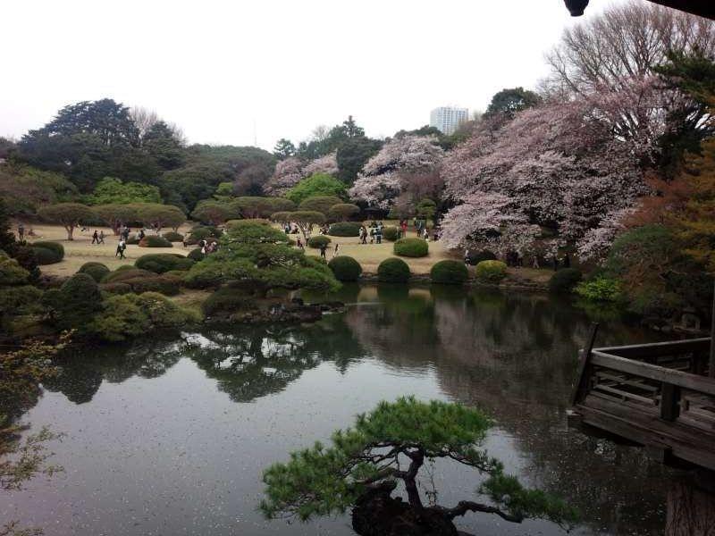 magnificent view of cherry blossoms in Shinjuku gyoen garden, typical Japanese landscape garden