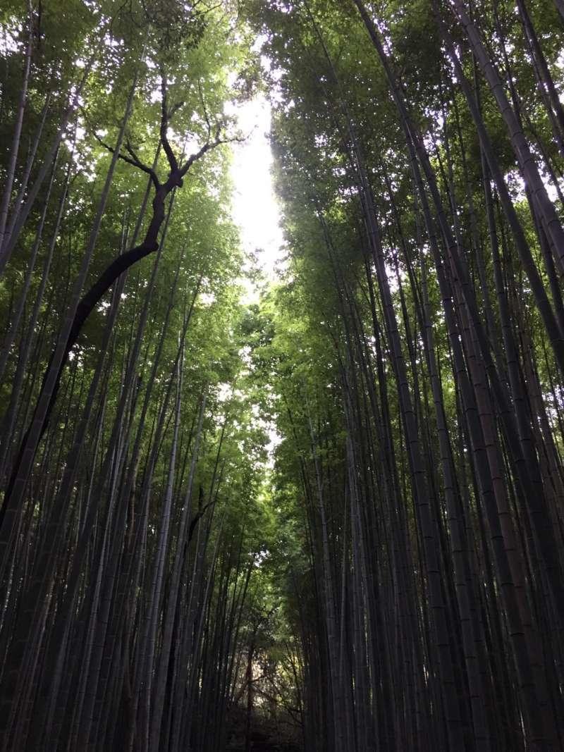 Bamboo grove in Saga Arashiyama