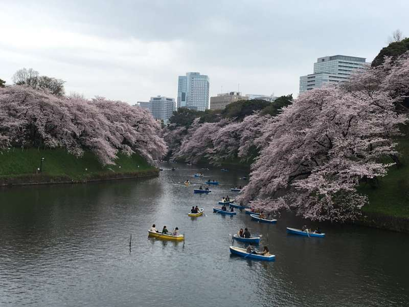 cherry blossom at the Chidorigafuchi
