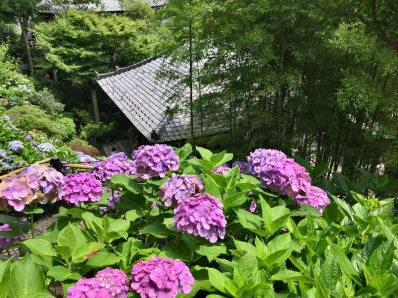 Hydrangeas at Hasedera Temple in Southwestern Kamakura Area