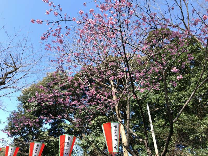 Cherry blossoms at Ueno Park in Ueno area