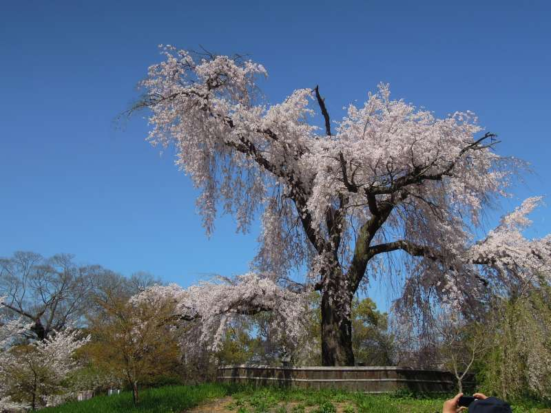 The Drooping Cherry Tree of Maruyama Park