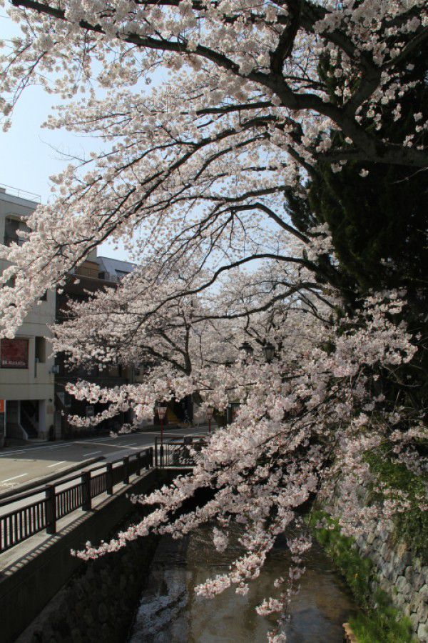 Cherry Blossoms in Full Bloom in Downtown