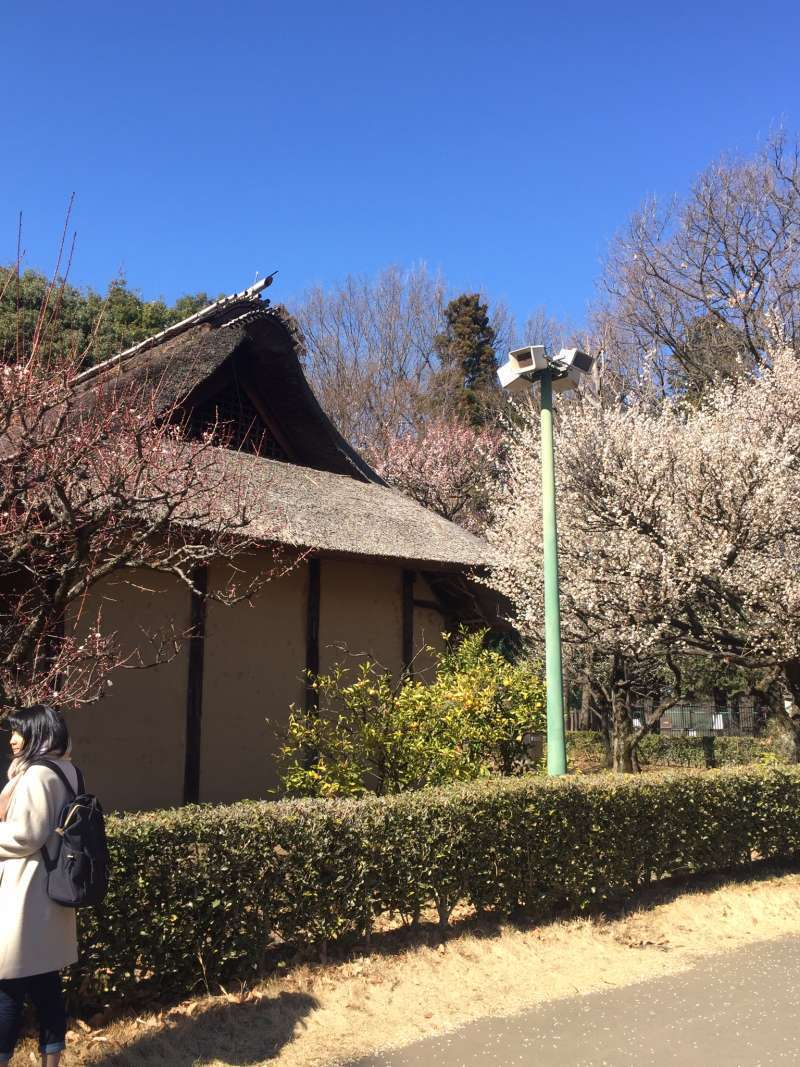 Now, Japanese plum blossoms can be seen around the houses. Koganei  Park is one of the best places to enjoy cherry blossoms in the end of March and the beginning of April.