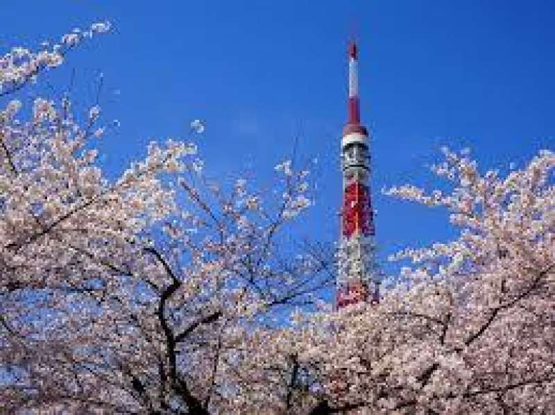 Tokyo Tower with Cherry Blossom