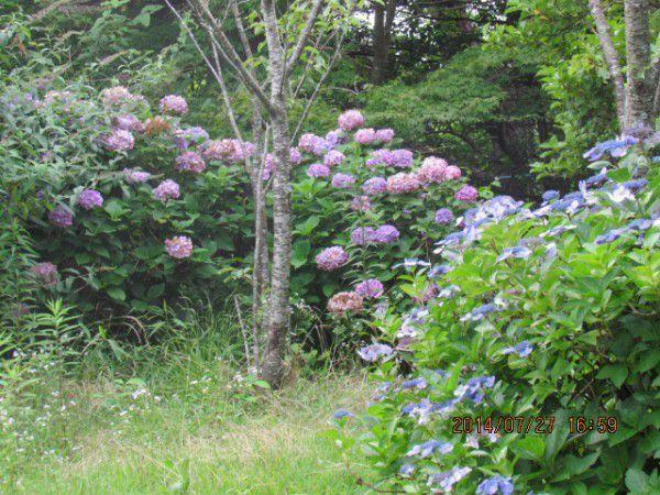 Beautiful hydrangea