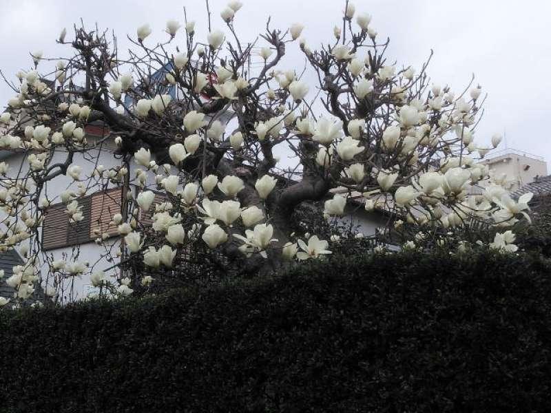White magnolia or Haku-mokuren