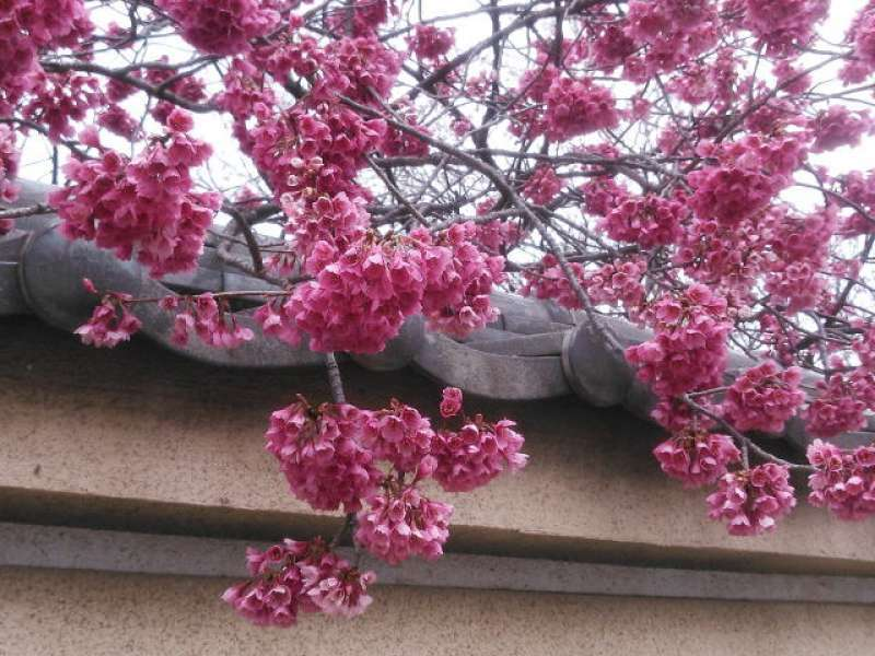 Hikanzakura cherry blossoms in Nakain Temple