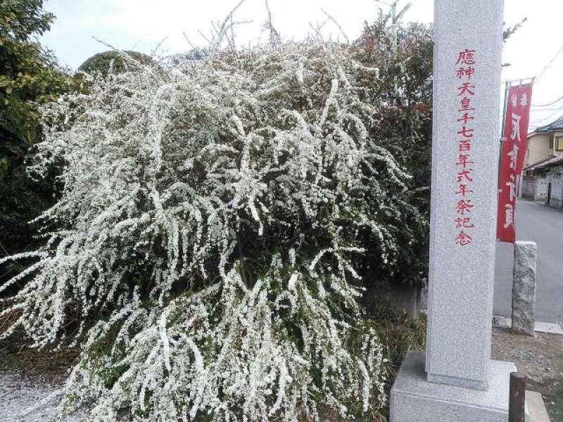 Spiraea in Kawagoe-hachiman Shrine