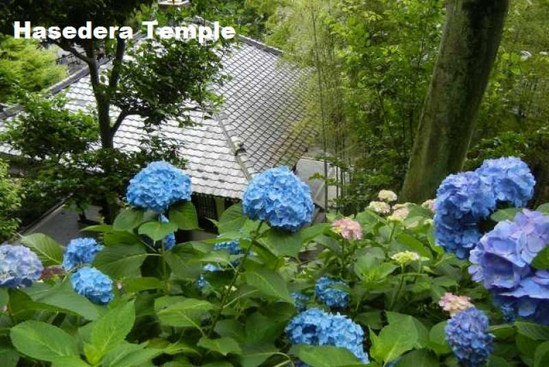 7. Hydrangeas bloom in June