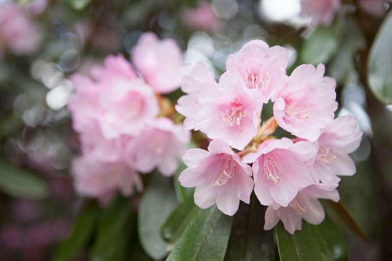 Flowers of a peony tree at Jingo-ji Temple, Takao