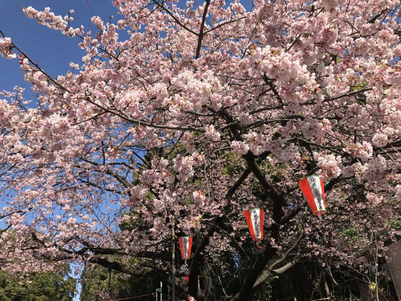 Cherry Blossoms at Ueno Park