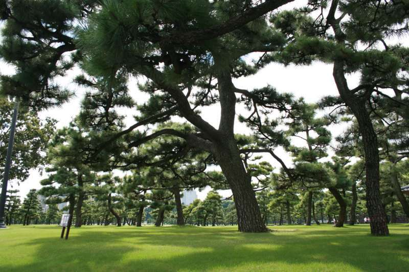 There are lots of good shape pine trees in the Imperial Palace.