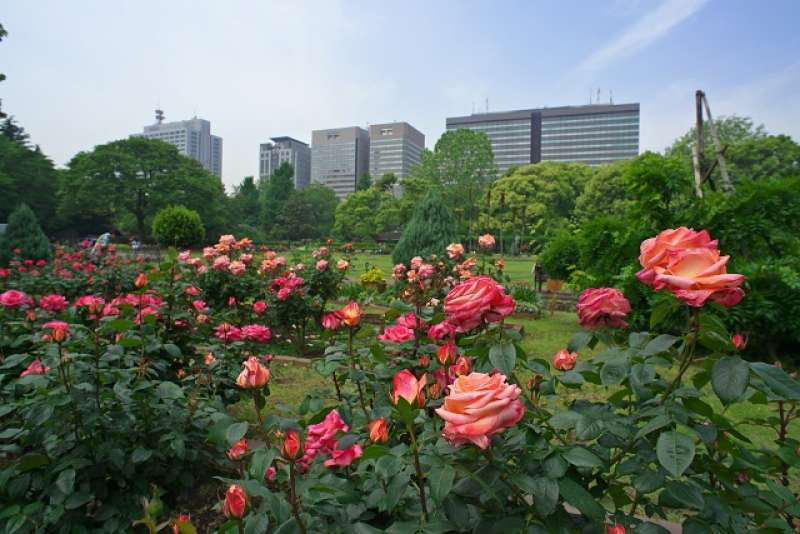There are various type of pretty roses after cherry blossom season in the Hibiya Park.