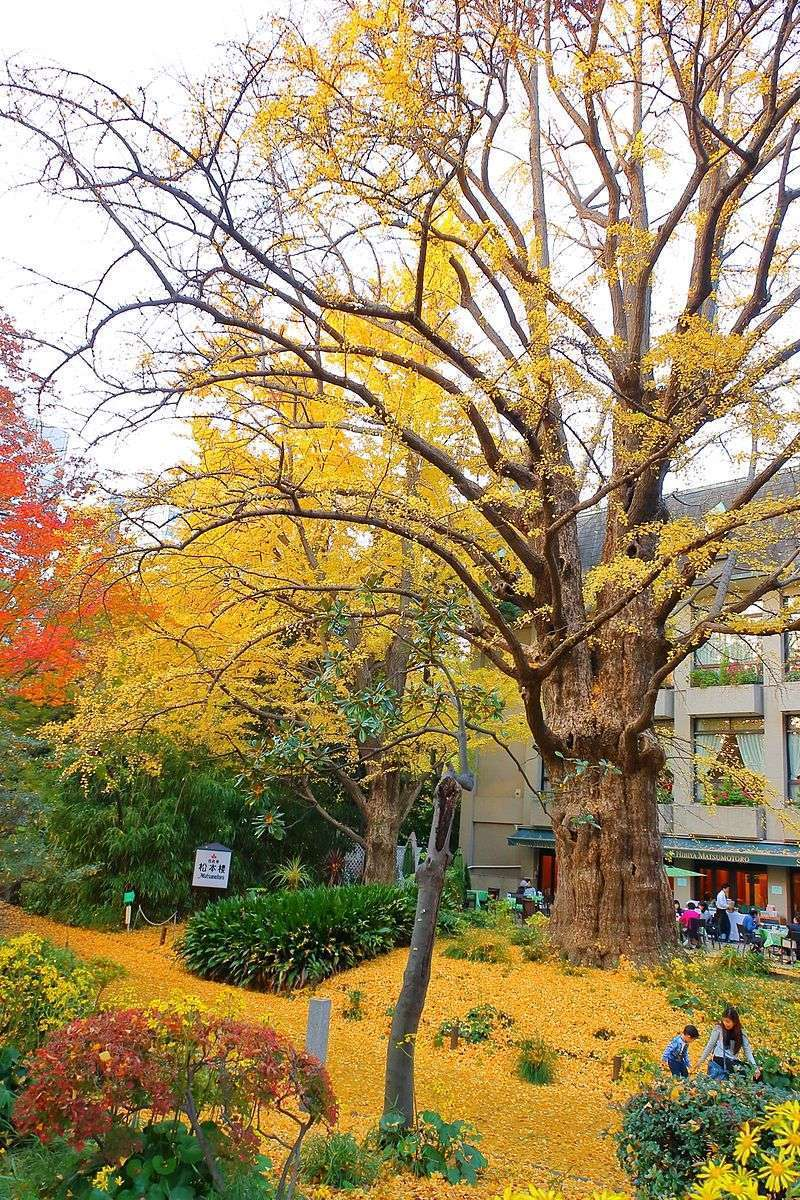 This is Ginkgo trees in autumn. From November to mid December, golden leaves paint the town with gold.