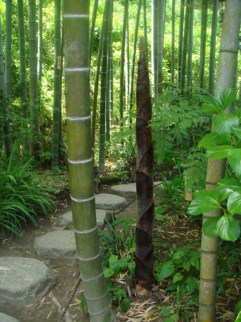 It's amazing how fast a young bamboo shoot grows.  It is said to be a feet length a night.